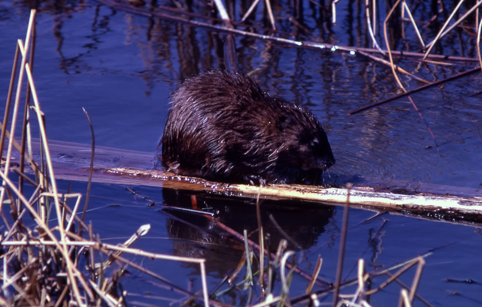 Muskrat swimming in the Yellowstone River