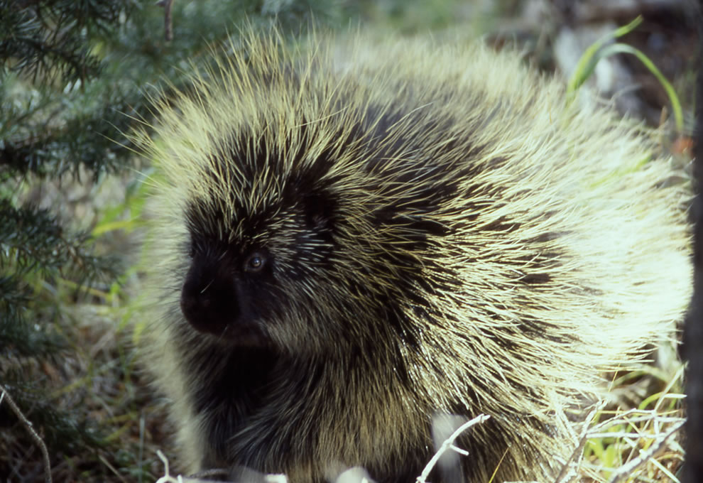 Porcupine at Yellowstone National Park