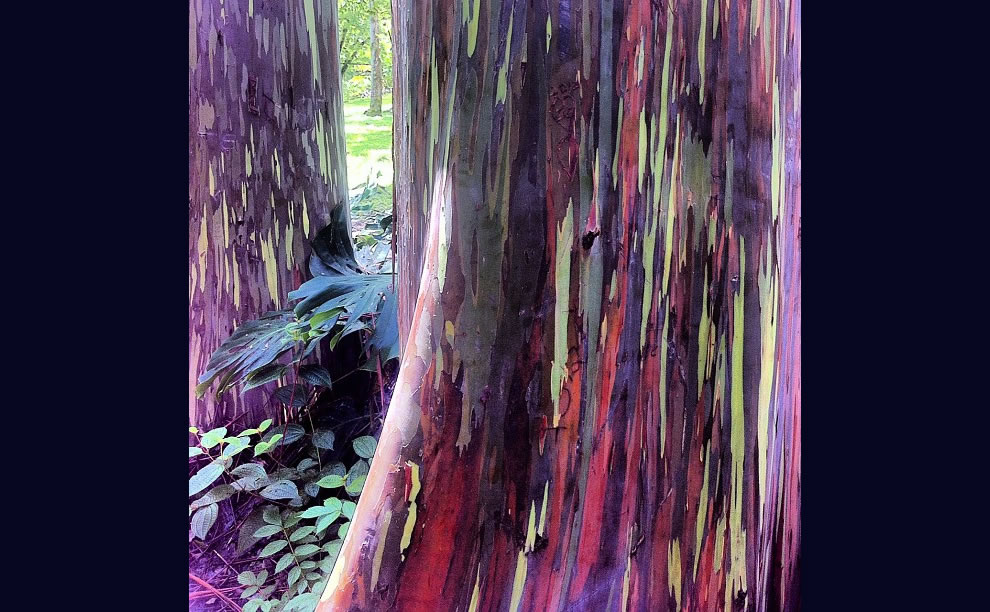 Showy Rainbow Eucalyptus shed patches of bark at different times throughout the year