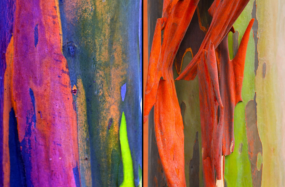 Rainbow eucalyptus trees go from bright green after shedding to blue, purple, orange and then maroon tones
