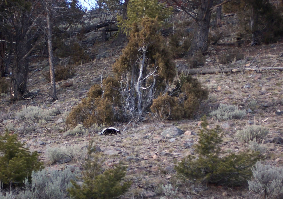 Skunk near Geode Creek, Yellowstone NP
