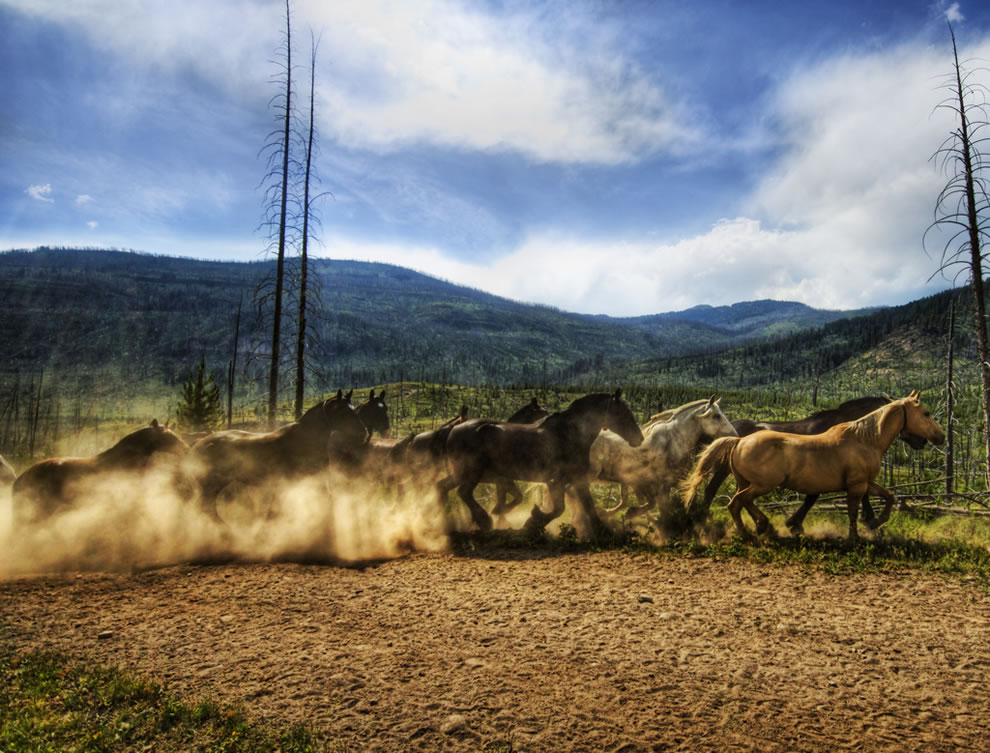 Stampede of the Wild Horses at Yellowstone National Park