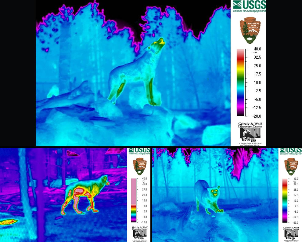 Thermal images of wolves at Yellowstone