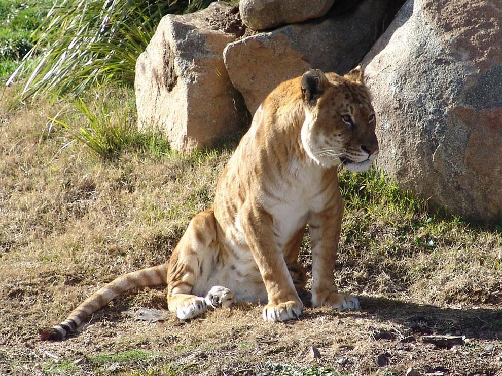 Tiglon = a daddy tiger and a mommy lion, lion hybrids