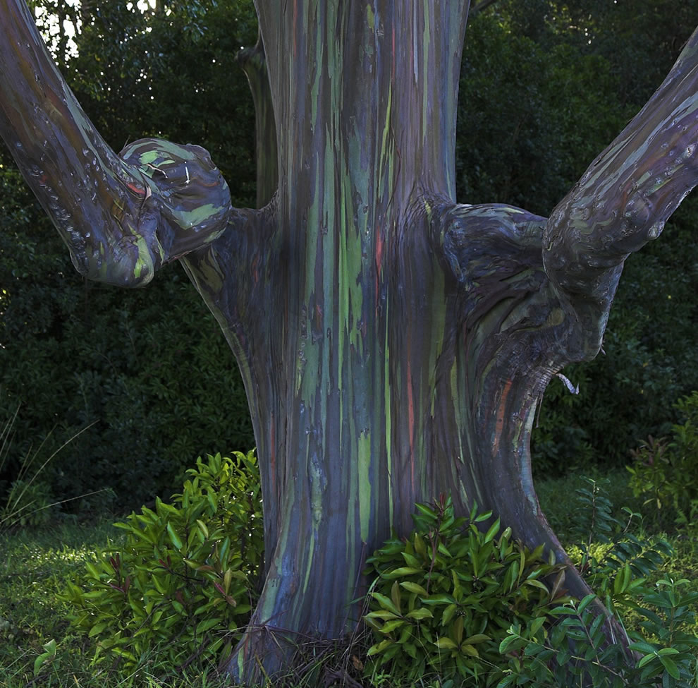 Unique shaped Rainbow Eucalyptus in a small eucalyptus grove on way to Hana, Maui