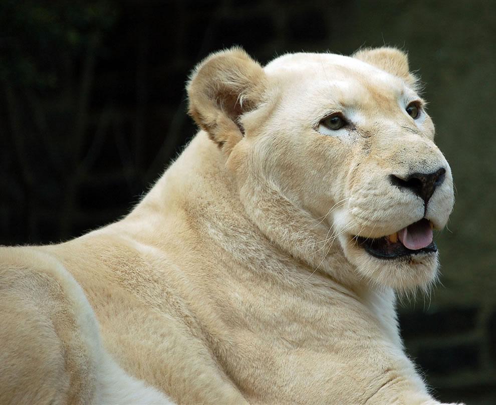 White Lioness, lion hybrid