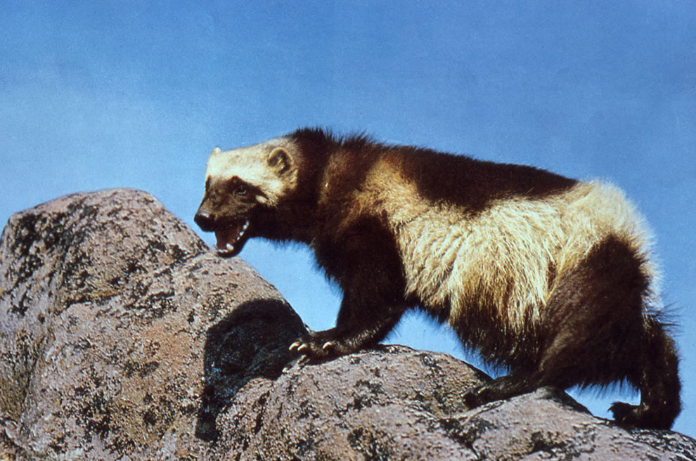 Wolverine, mammal of Yellowstone National Park