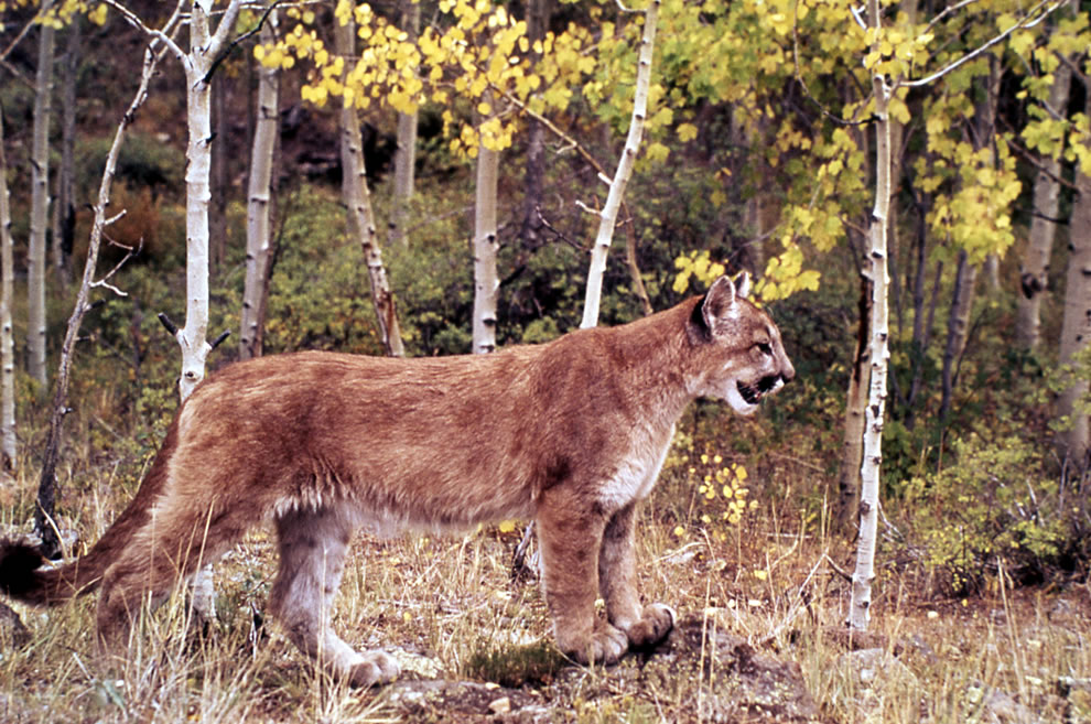 Yellowstone Mountain lion in yellow aspens