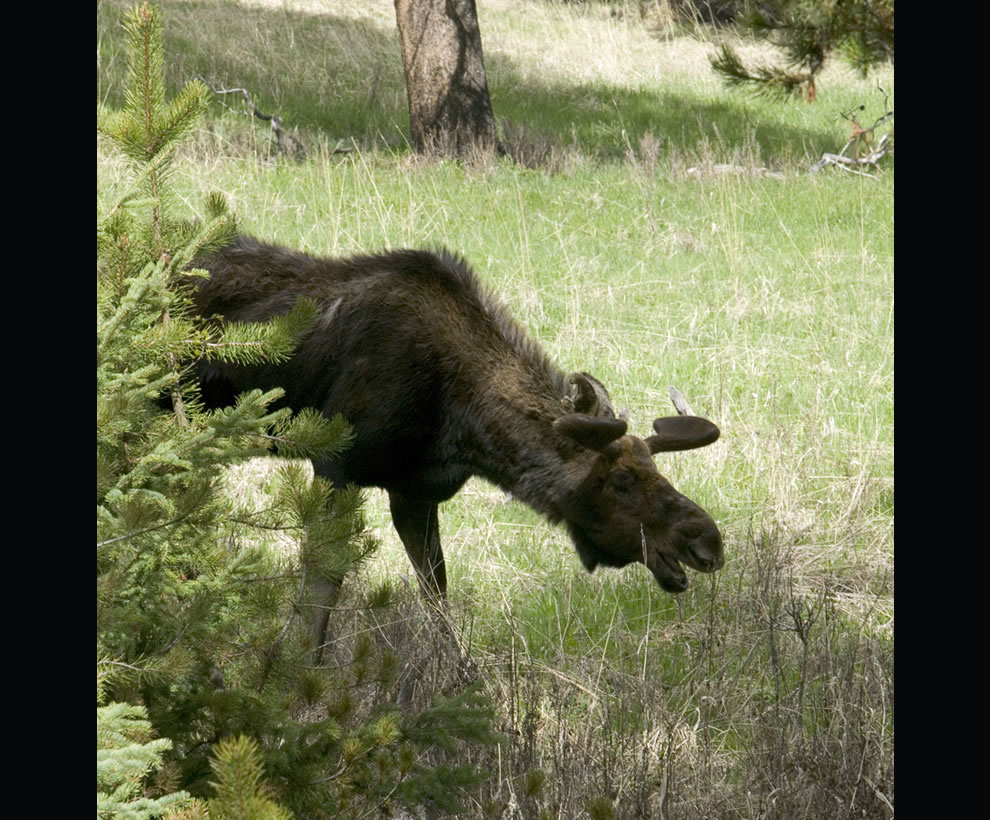 Young moose walking at Yellowstone