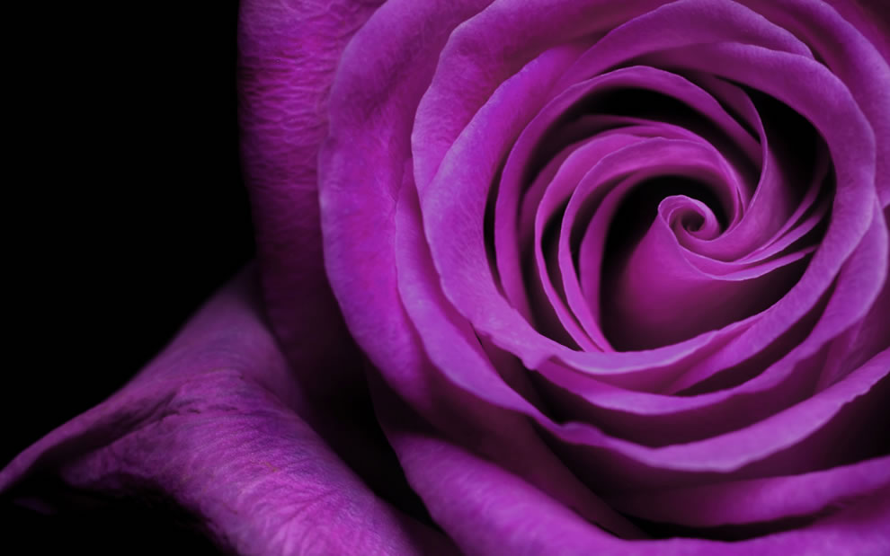 A purple rose may mean enchantment or enthrallment to convey love at first sight