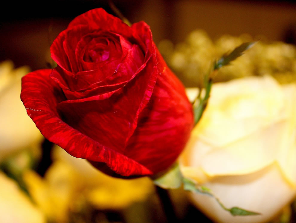 A red rosebud is symbolic of purity and loveliness