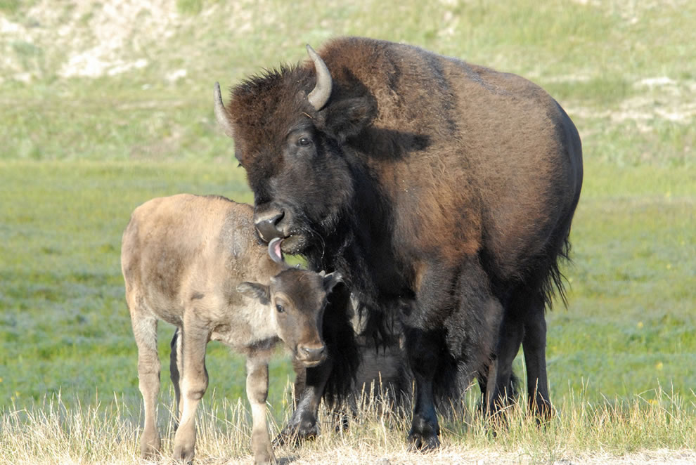 American Bison mother grooming her calf in Hayden Valley, Yellowstone National Park
