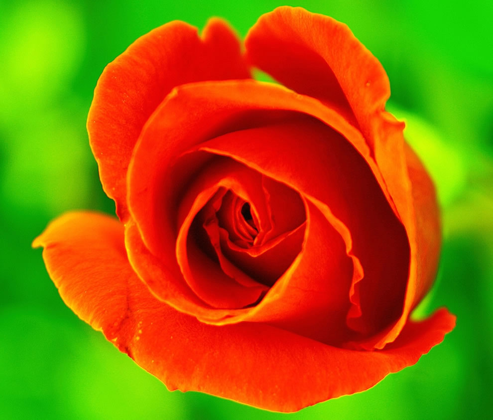 An orange rose means Enthusiasm, Desire, Fascination