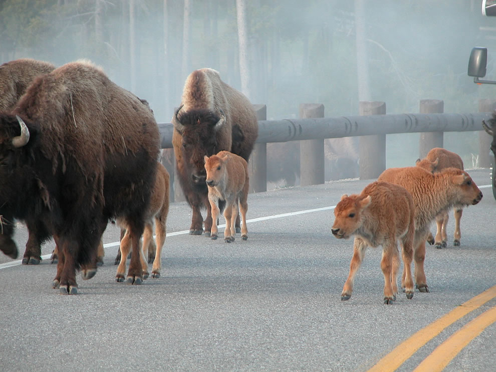 Baby bison crossing; they make pretty charming roadblocks