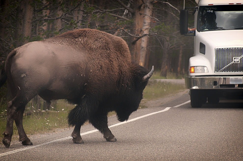 Big bison not intimidate by bigger semi on Yellowstone road