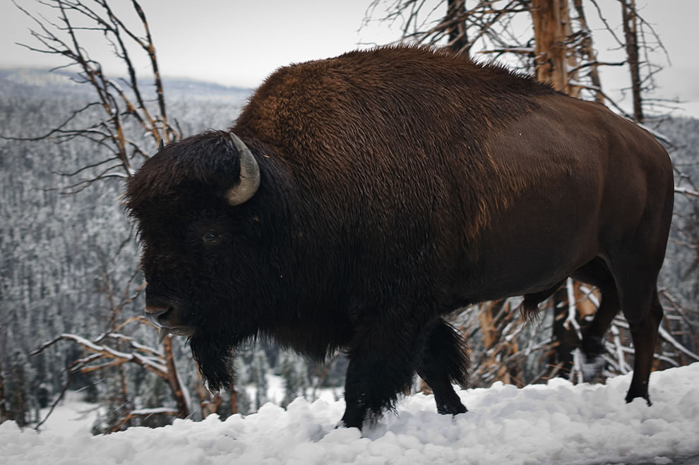 Yellowstone Bison in the snow