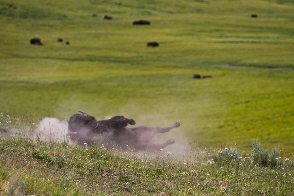 Bison rolling to scratch its back next to Yellowstone road