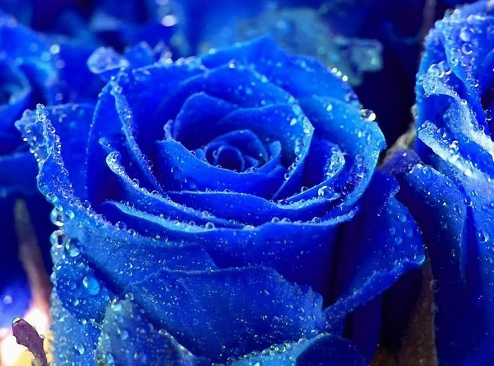 Blue roses with water droplets