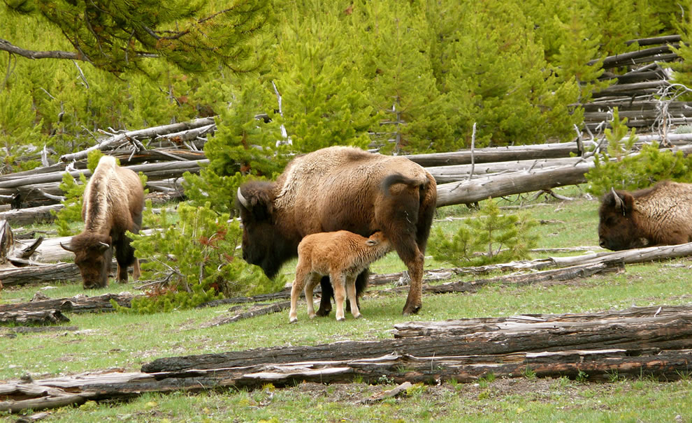 Buffalo baby, at the 'milk bar' off the West Entrance Road - Yellowstone National Park, Wyoming, USA