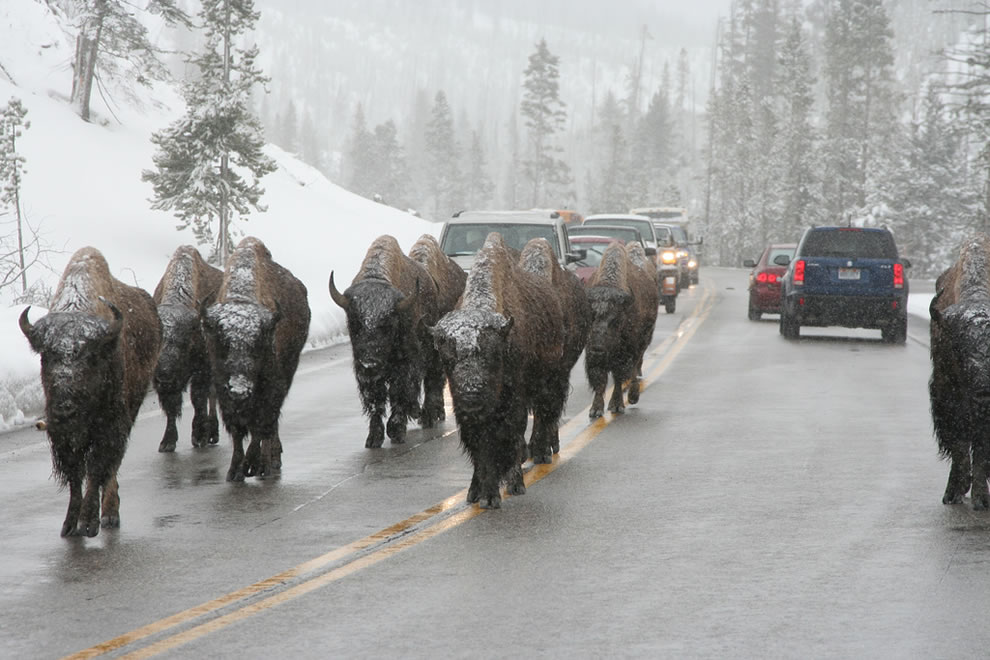 Buffalo jam, Bison slowing traffic down