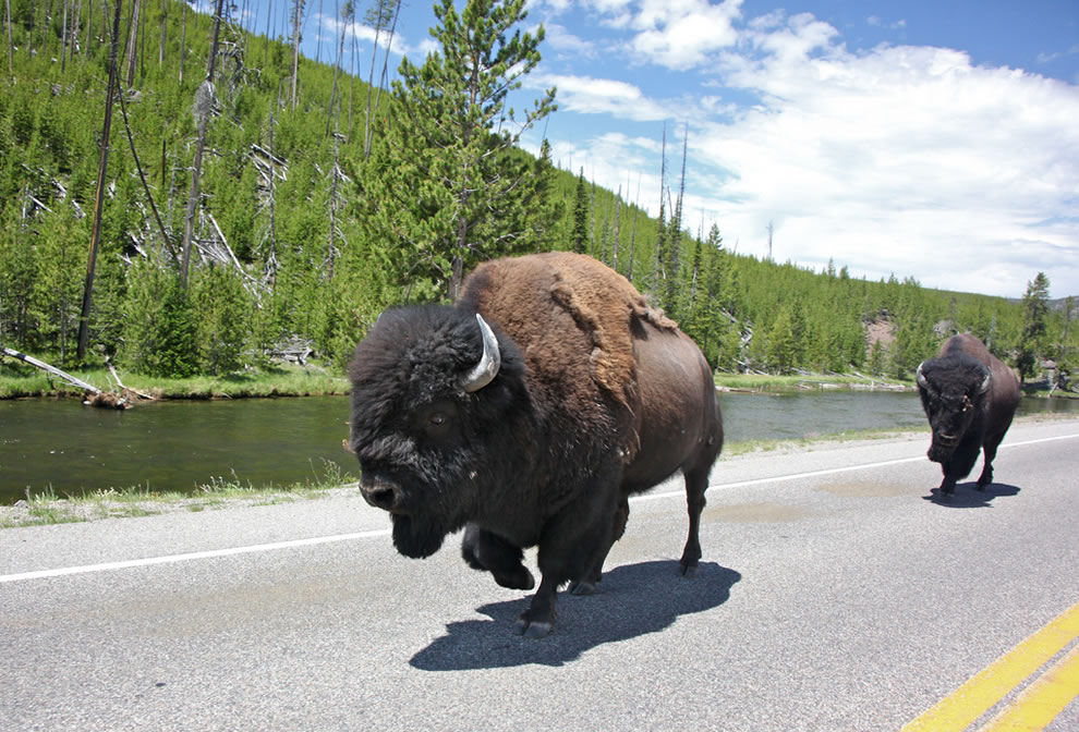 Yellowstone bison on road, Commute Lane . . . Where the buffalo roam…2000 lbs gets to make the rules