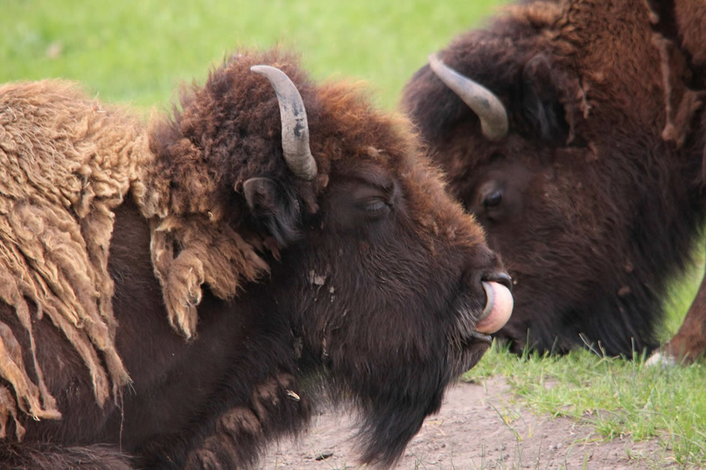 Eww, Yellowstone buffalo cleaning its nose with its tongue