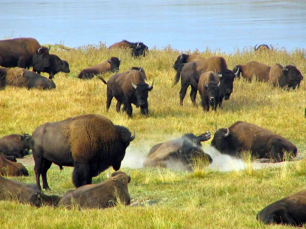 Herd of Yellowstone buffalo, bison bison