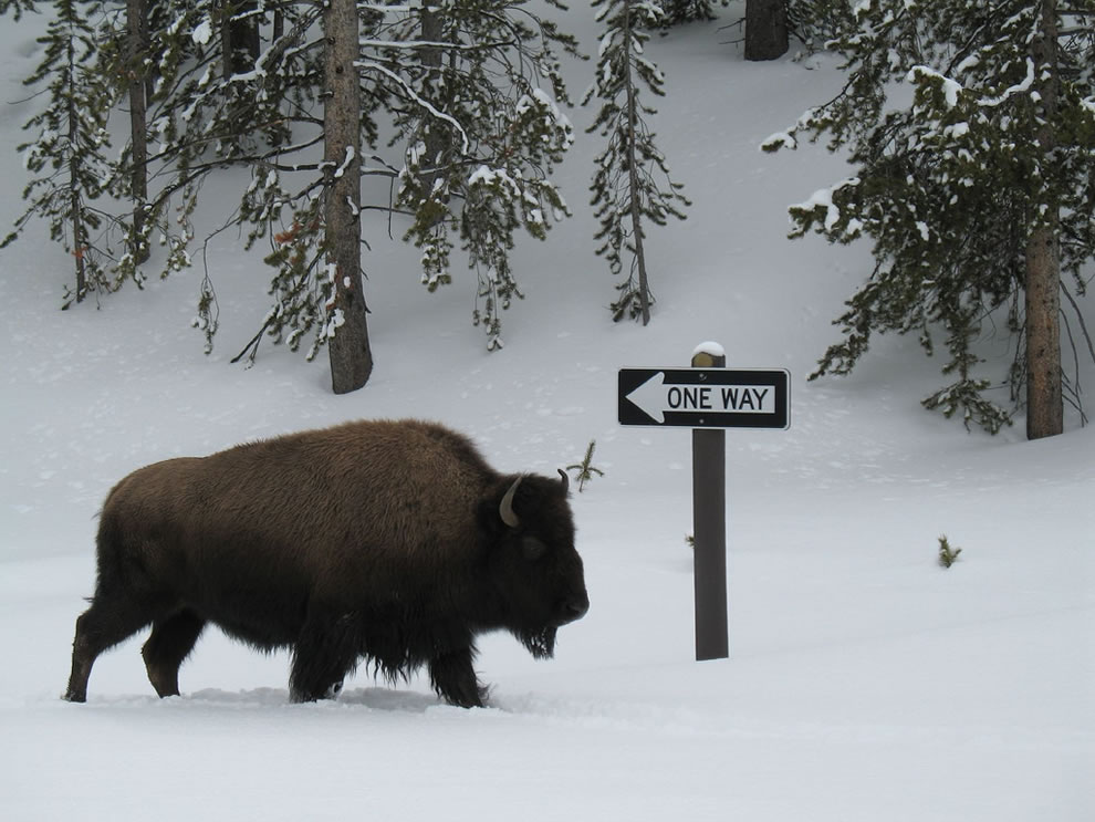 Rebel buffalo at Yellowstone NP, bison don't have to play by the rules