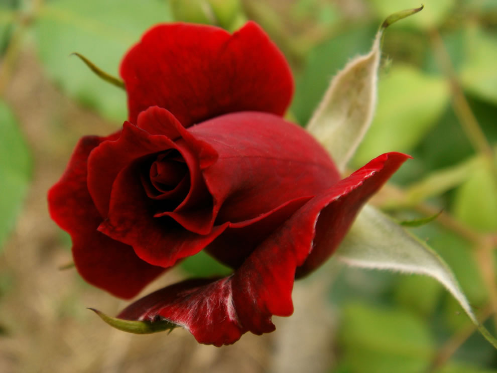 Red rose just for you