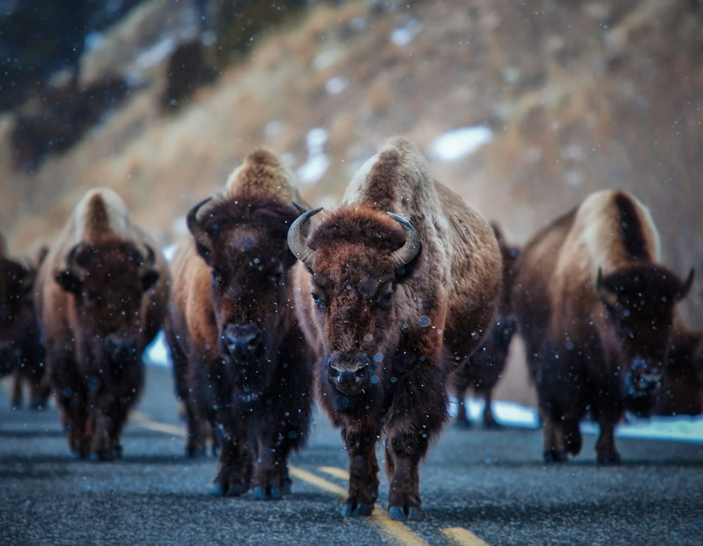 This land is your land, American Bison at Yellowstone
