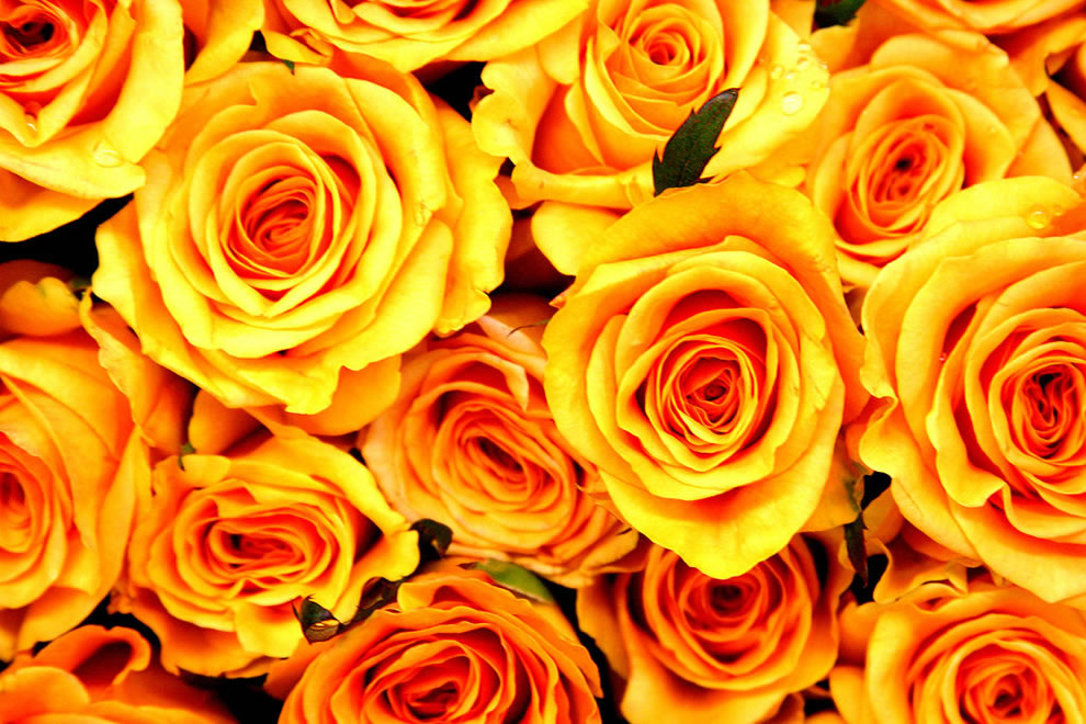 Yellow roses can mean friendship and 'I care' as well as joy, gladness, delight, a 'promise of a new beginning,' welcome back, remember me, and even jealousy