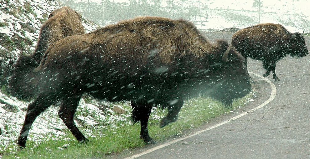 Yellowstone bison in the snow, crossing the road