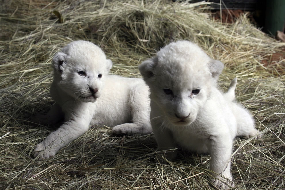 Baby white lion cubs at Shamwari Reserve, Africa, a life in the wild