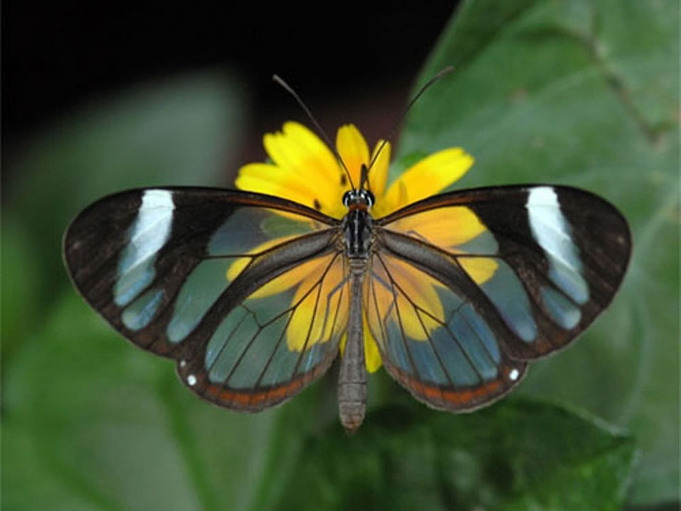 Beautiful Glasswing Butterfly