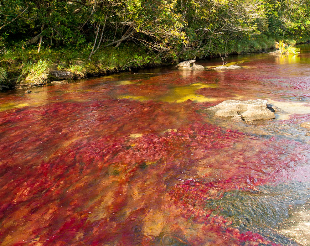 Beautiful river, colorful water, aquatic plant product with sun turn red, green. It is located in Colombia, near the town of La Macarena, in Meta
