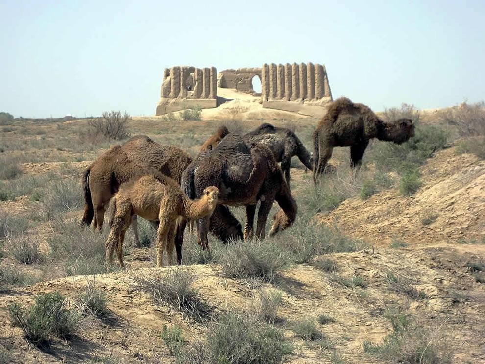 Camels grazing before the Great Kyz Kala, Merv, Turkmenistan
