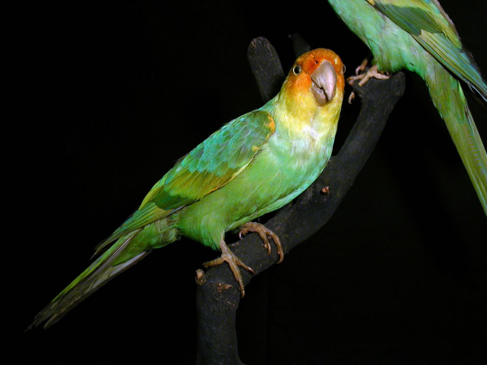 Carolina parakeet, mounted specimen, Museum Wiesbaden, Deutschland, Germany