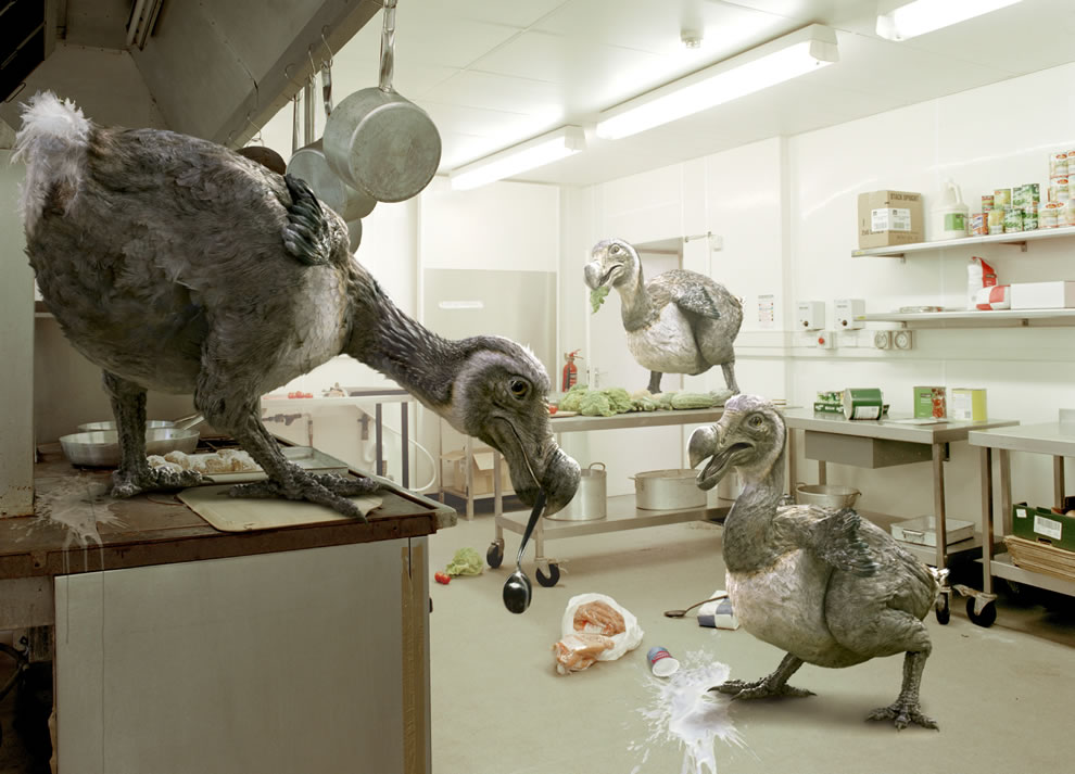 Flightless and extinct Dodo birds