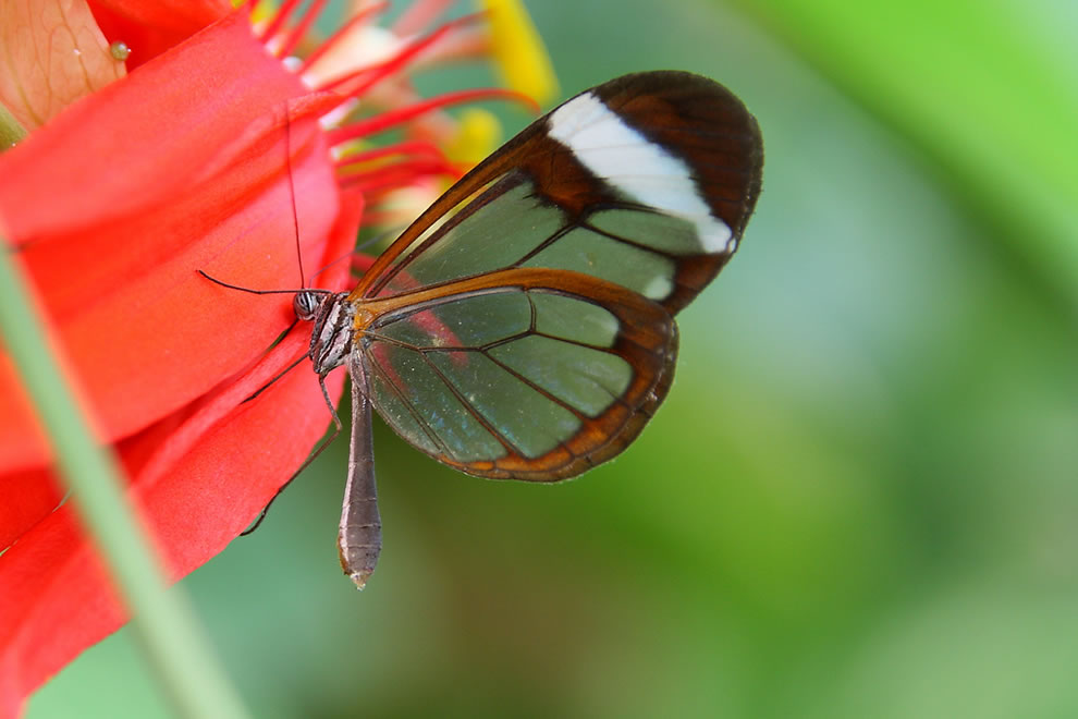 Extraordinary evolution to transparency, glasswing butterfly