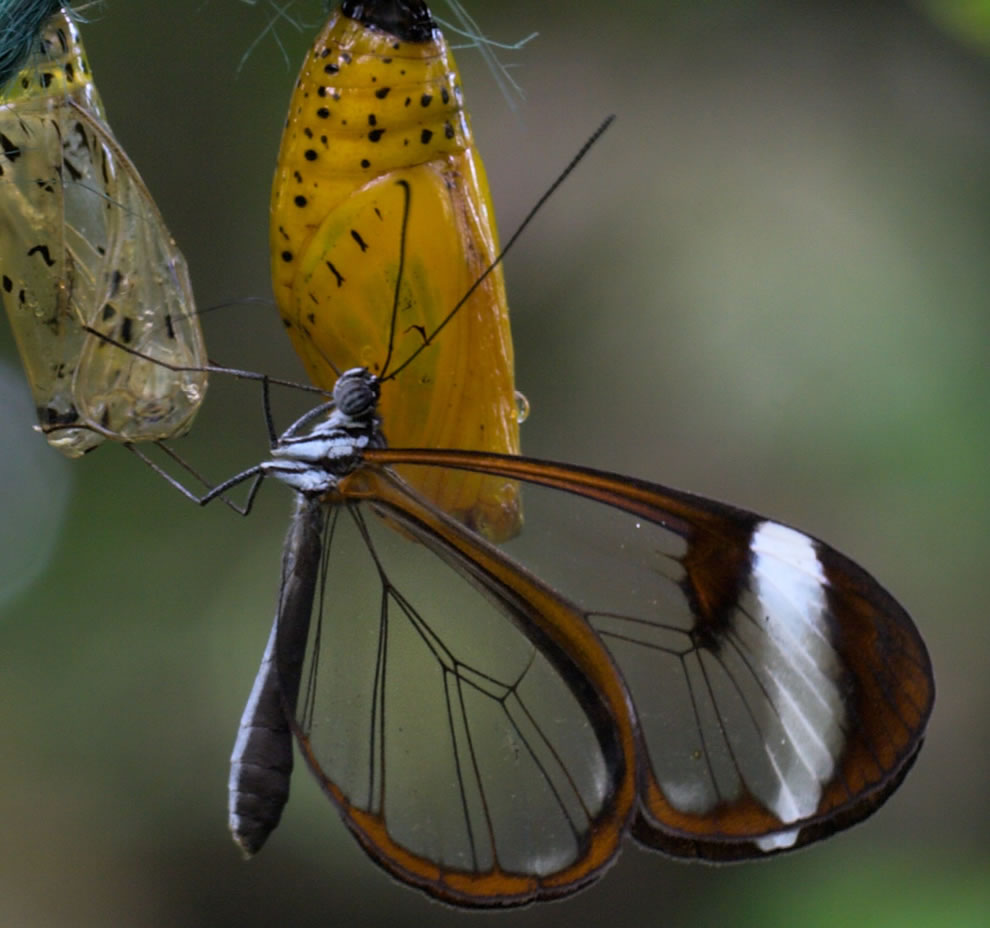 Glasswing and chrysalis at the Felinwynt Rain Forest Center