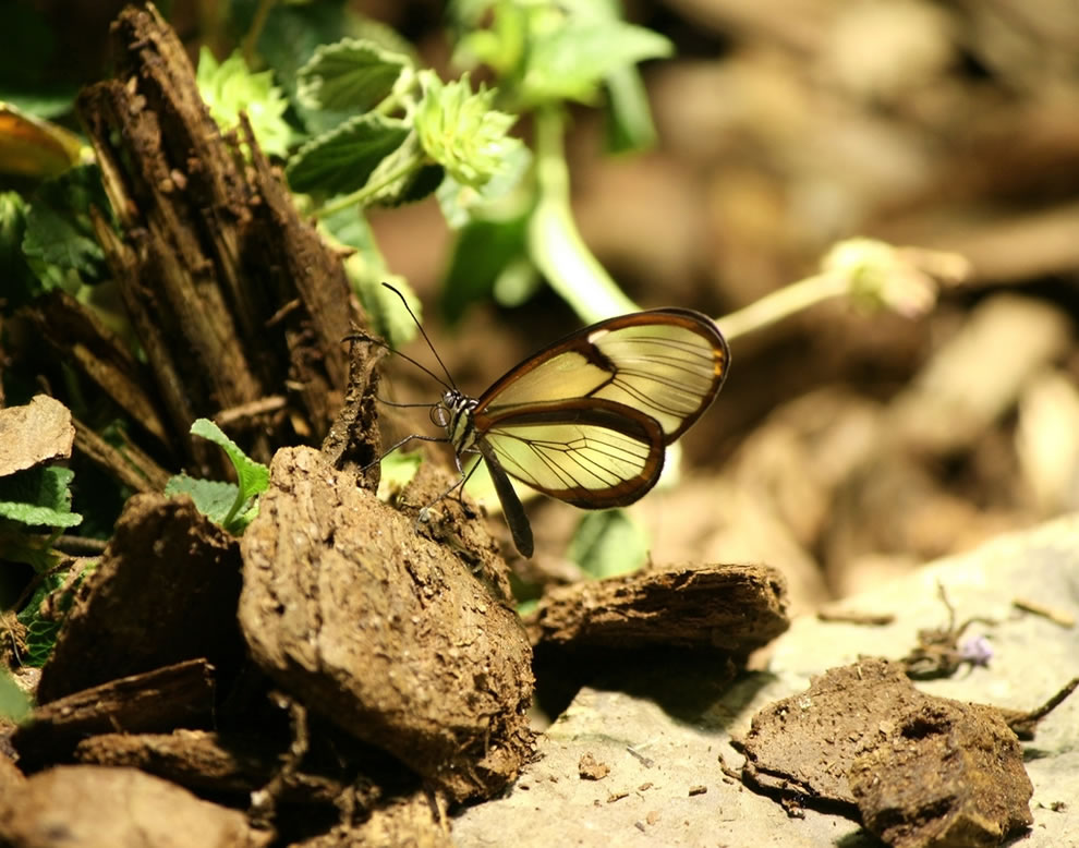 Glasswing butterflies can carry up to 40 times their body weight