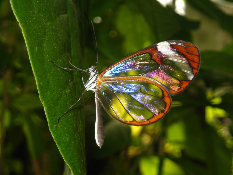 Glasswing butterfly in Amsterdam