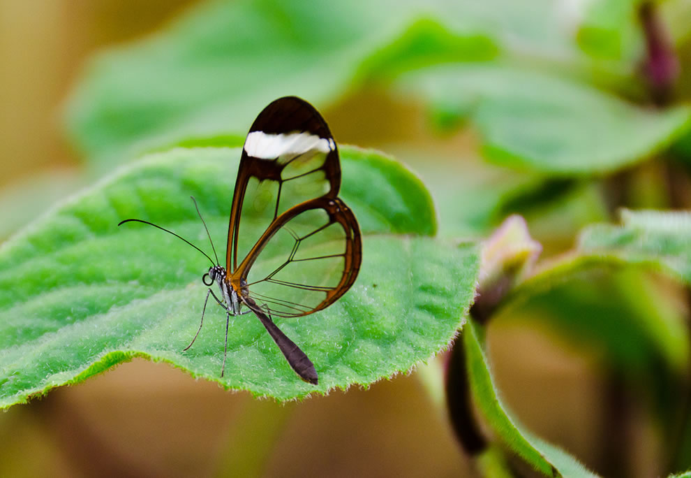 Glasswing butterfly is capable of 8mph as its top speed