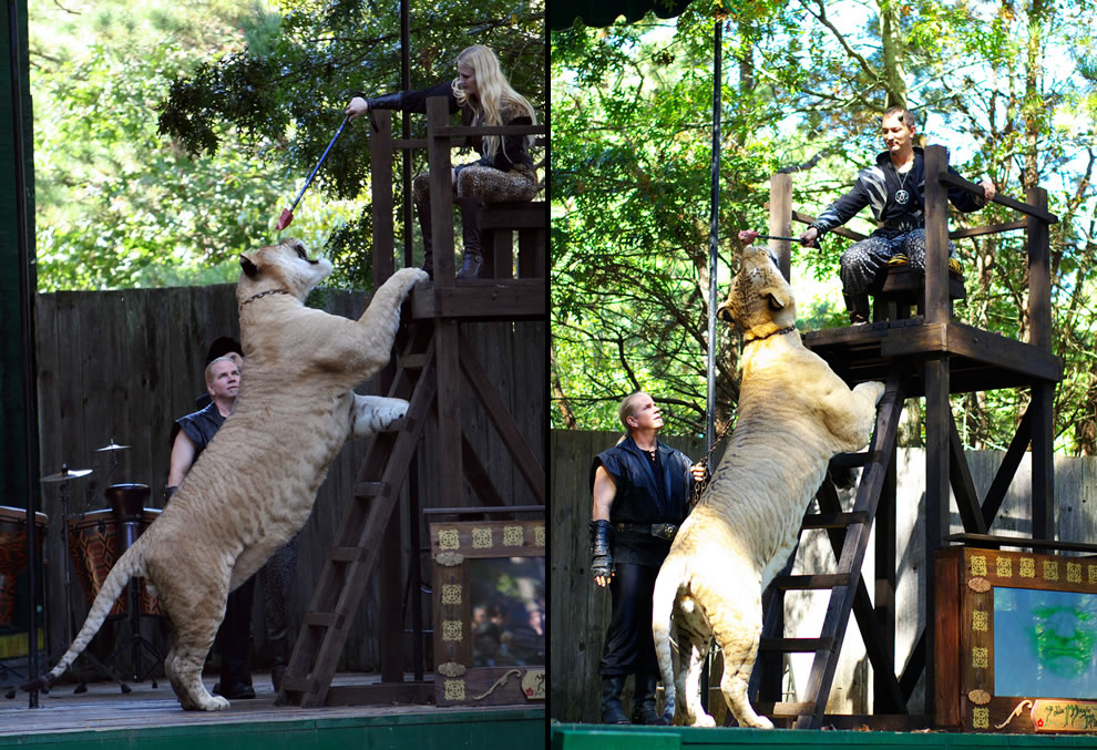 Hercules, largest big cat on earth at over 1,100 lbs standing on hind legs for meat treat