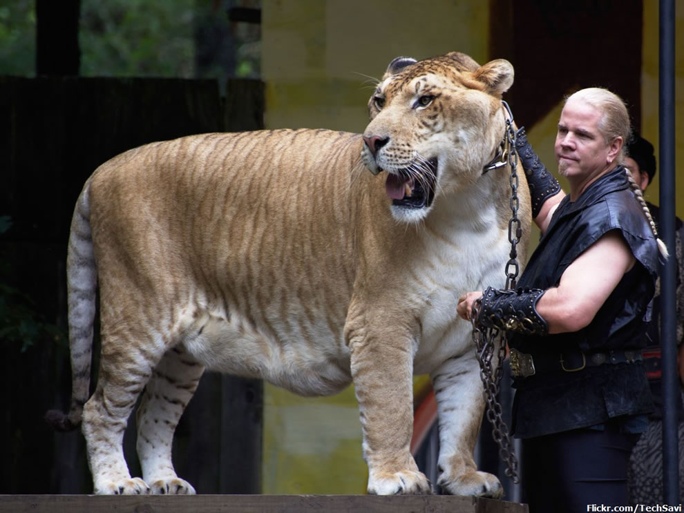 Liger in the big cat show