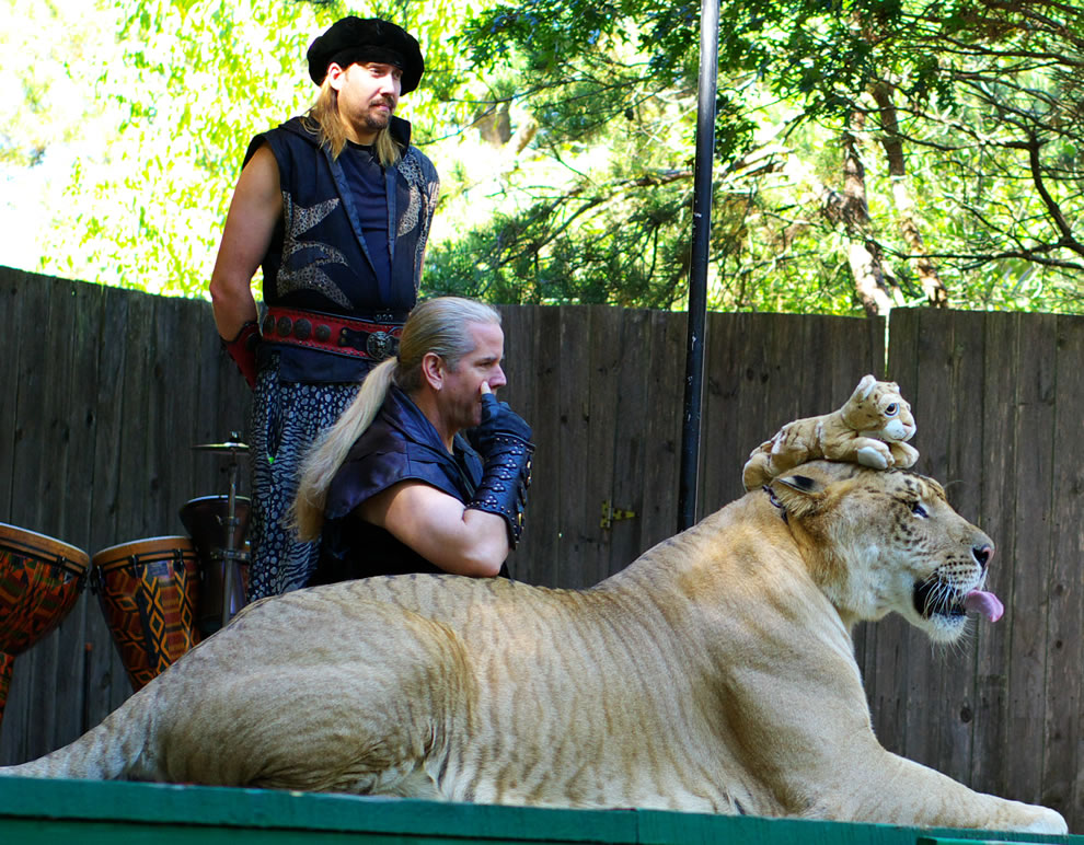 Ligers are social animals and get along with both lions and tigers