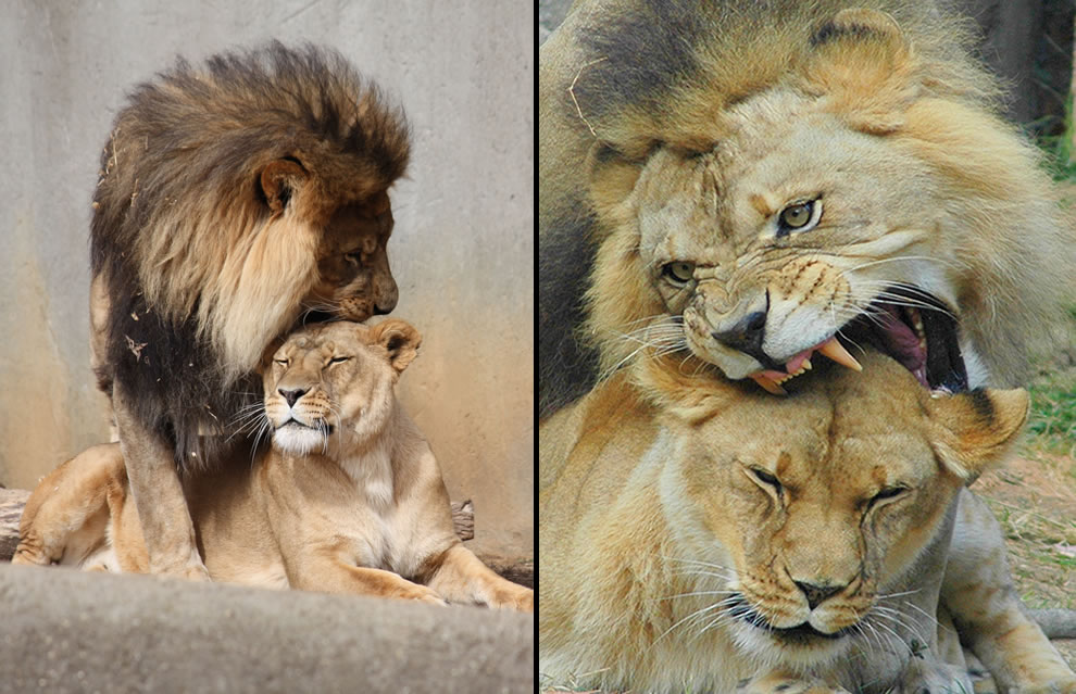 Lions mating in captivity