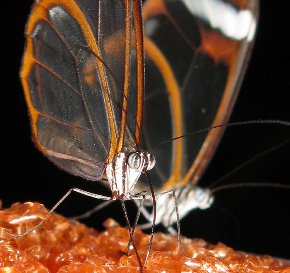 Macro photography of glasswing butterfly face and eyes