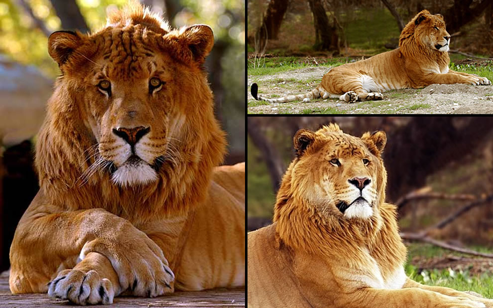Male Ligers, liger male, lion hybrid