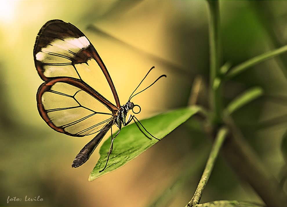 Mariposa GlassWing-greta oto